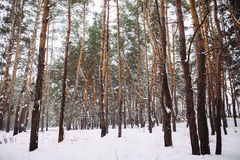 forêt couverte de neige au coucher du soleil Image libre de droits