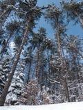 forêt couverte de neige du fond Photos stock