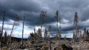 Forêt détruite de pin Images libres de droits