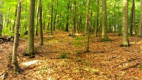 Forêt d'été dans les montagnes, grands arbres Photographie stock