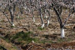 Forêt d'abricot Images libres de droits