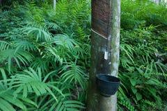 Forêt d'agriculture de latex d'arbre en caoutchouc Photos stock