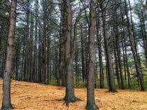 Forêt d'aiguille de pin dans Maine Images libres de droits