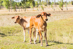 Forêt d'animal de l'Asie de vache Image libre de droits