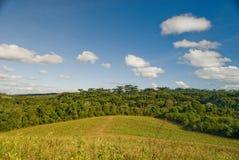 Forêt d'araucaria Photos libres de droits