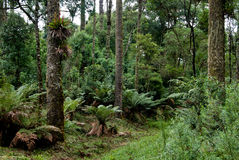 Forêt d'araucaria Image libre de droits
