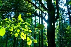 Forêt d'arbre de hêtre Photo stock
