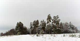 Forêt d'arbre de pin de l'hiver Image stock