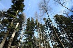 Forêt d'arbre de sapin argenté dans Pyrénées Images stock