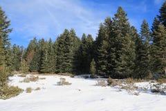 Forêt d'arbre de sapin argenté en hiver, Pyrénées Photos stock