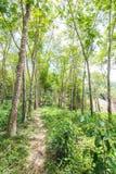 Forêt d'arbre en caoutchouc Photo libre de droits