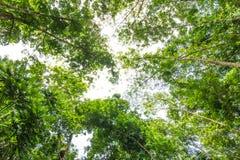 Forêt d'arbre en caoutchouc Photographie stock libre de droits