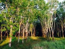 Forêt d'arbre en caoutchouc Images stock