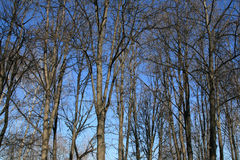Forêt d'arbres au printemps sur le ciel bleu Photographie stock libre de droits