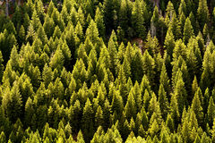 Forêt d'arbres de pin Image stock