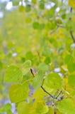 Forêt d'Aspen Images libres de droits