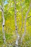 Forêt d'Aspen Image libre de droits
