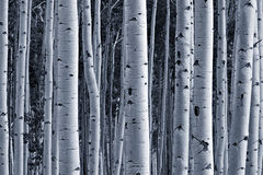 Forêt d'Aspen images stock