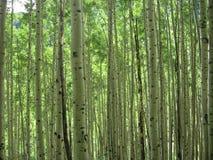 Forêt d'Aspen photographie stock