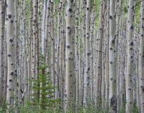 Forêt d'Aspen Photo stock