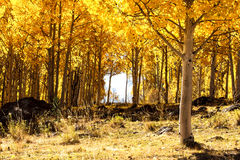 Forêt d'Aspen Image stock