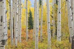 Forêt d'Aspen d'automne Photographie stock libre de droits