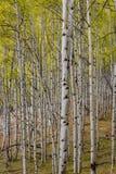 Forêt d'Aspen de chute avec l'écorce humide de la pluie Image stock
