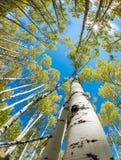 Forêt d'automne d'arbres d'Aspen recherchant à une étoile du soleil Photo libre de droits