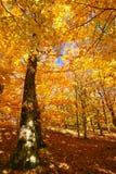 Forêt d'automne avec des couleurs d'or Photos stock