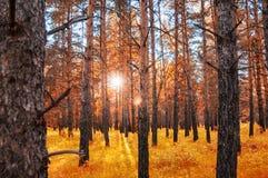 Forêt d'automne avec des rayons de soleil par les arbres au coucher du soleil Photo stock