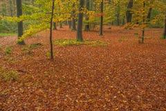 Forêt d'automne avec le tapis du feuillage d'automne rouge Image libre de droits