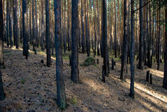 Forêt d'automne de pin photographie stock libre de droits