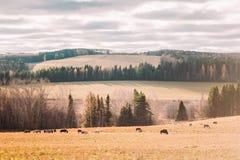 Forêt d'automne et chevaux de marche dans le domaine Photo libre de droits