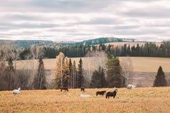 Forêt d'automne et chevaux de marche dans le domaine Image libre de droits