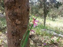 Forêt d'ayin de ` de Rosh ha image libre de droits
