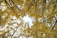 Forêt d'or de gingko au soleil Photo stock