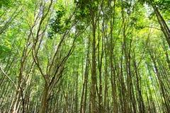 forêt d'or de palétuvier, Chanthaburi Thaïlande Photo stock