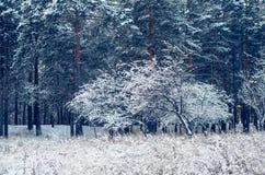 Forêt d'hiver. Photos libres de droits
