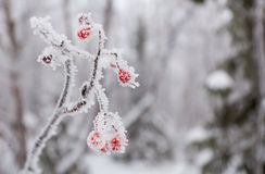 Forêt d'hiver au nord russe avec beaucoup de neige Images stock