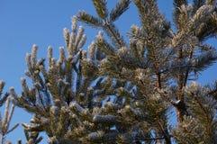 Forêt d'hiver dans Vologda Photo libre de droits