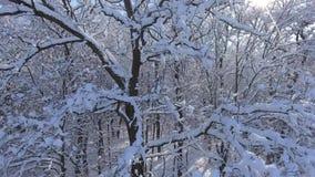 Forêt d'hiver de vol dans la neige banque de vidéos