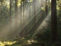 Forêt d'ib de faisceaux de lumière photographie stock libre de droits