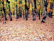 Forêt dans la chute Photos libres de droits