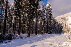 Forêt dans la neige Photographie stock