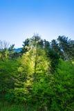 Forêt dans le contre-jour Image libre de droits