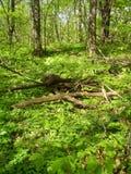 Forêt dans le printemps photographie stock libre de droits