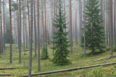 Forêt dans le regain de matin Photos stock