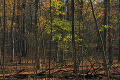 Forêt dans le segment de Monches du journal de période glaciaire Photos libres de droits