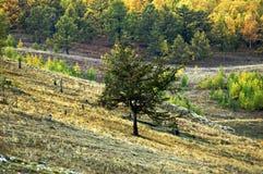 Forêt dans le stepp de Khakassian Photos libres de droits