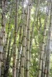 Forêt de bambou de dégradation images libres de droits